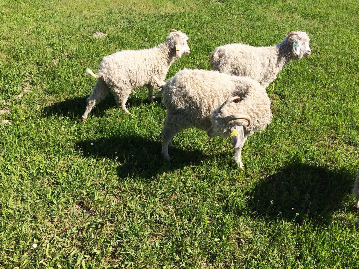 chèvres angora